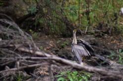 Hillsborough River Rapids - Bird