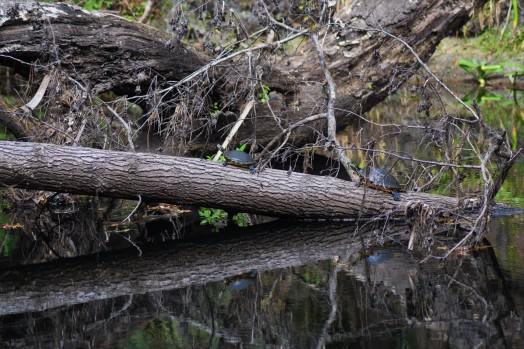 Hillsborough River Turtles