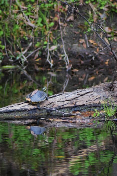 Hillsborough River Turtle
